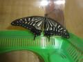 ケースの中だと、色々な角度から蝶を見れます。まるで夏休みの「こぐま自由研究」!?