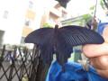 こちらはクロアゲハ。全身が美しい黒色です。